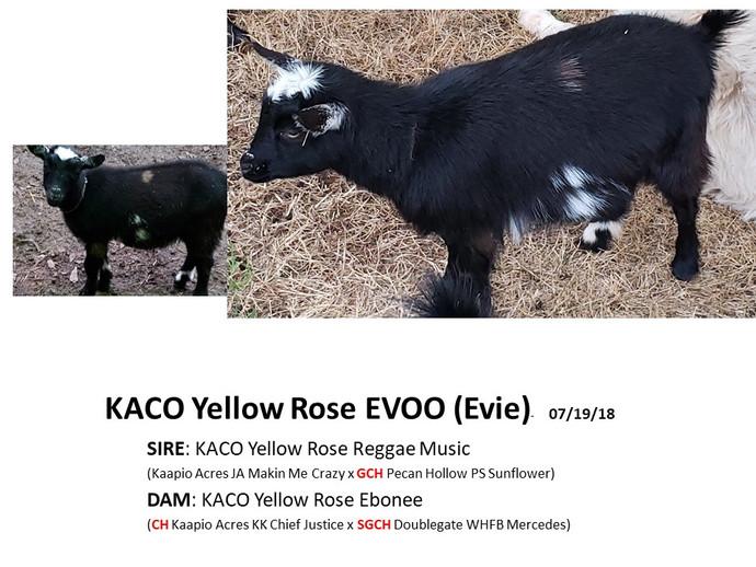 KACO Yellow Rose Evoo.jpg