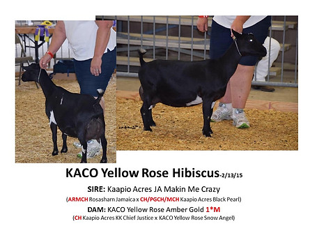 KACO Yellow Rose Hibiscus.jpg