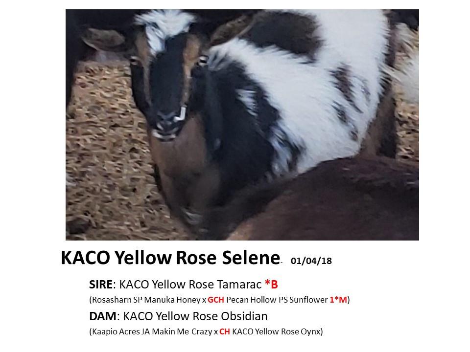 KACO Yellow Rose Selene.jpg