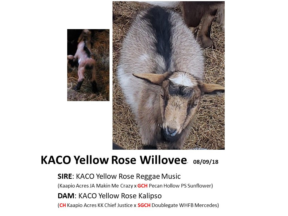 KACO Yellow Rose Willovee.jpg