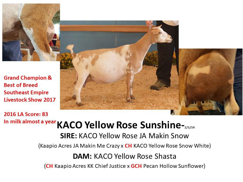 KACO Yellow Rose Sunshine.jpg