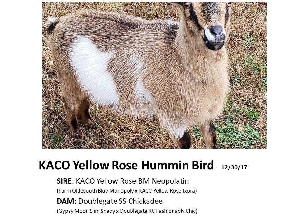 KACO Yellow Rose Hummin Bird.jpg