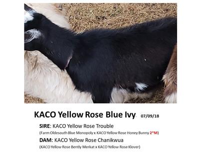KACO Yellow Rose Blue Ivy.jpg