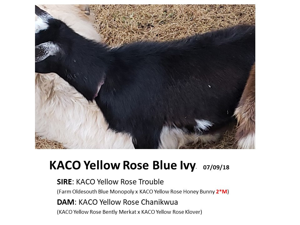 KACO Yellow Rose Blue Ivy.jpg