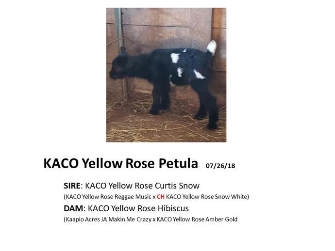 KACO Yellow Rose Petula.jpg