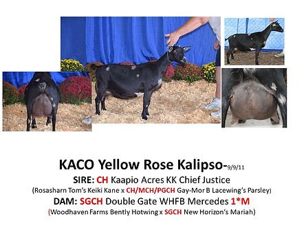 KACO Yellow Rose Kalipso.jpg
