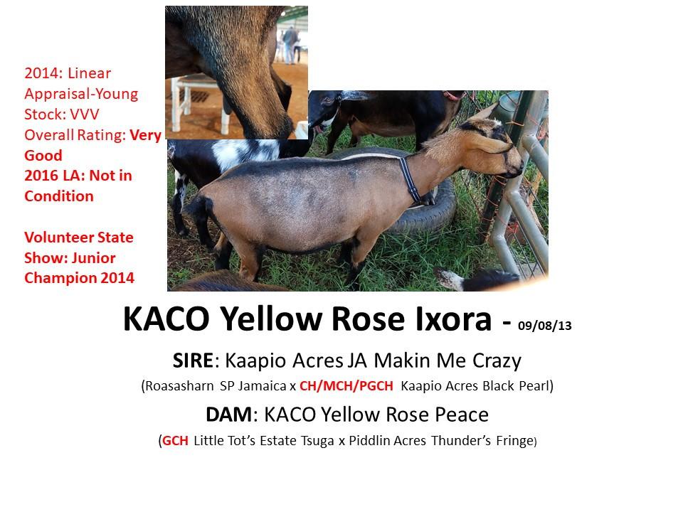 KACO Yellow Rose Ixora.jpg