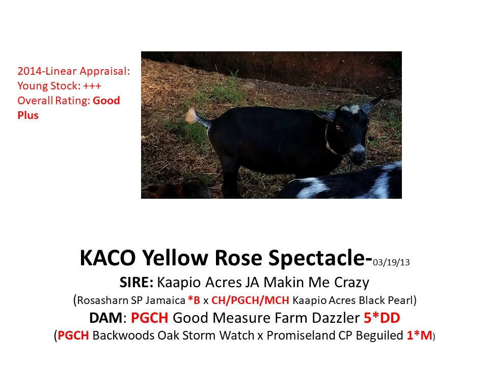 KACO Yellow Rose Spectacle.jpg