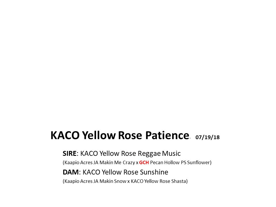 KACO Yellow Rose Patience.jpg