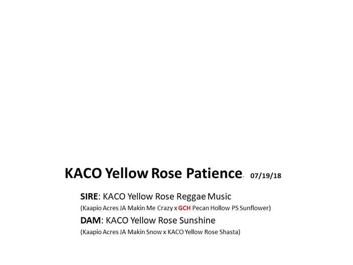 KACO Yellow Rose Patience.jpg