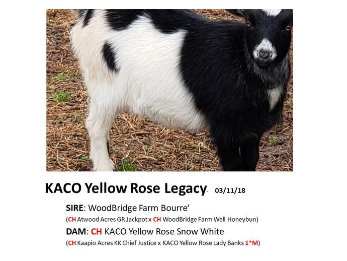 KACO Yellow Rose Legacy.jpg