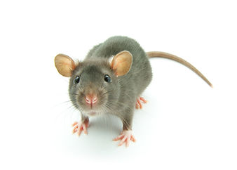 little-grey-mouse (1).jpg