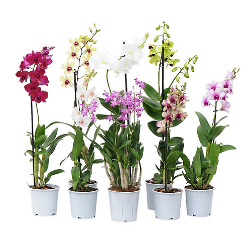 Boxed Orchid Plant