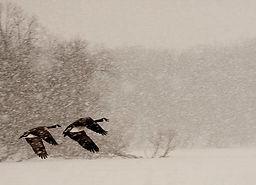 geese-in-snowstorm.jpg