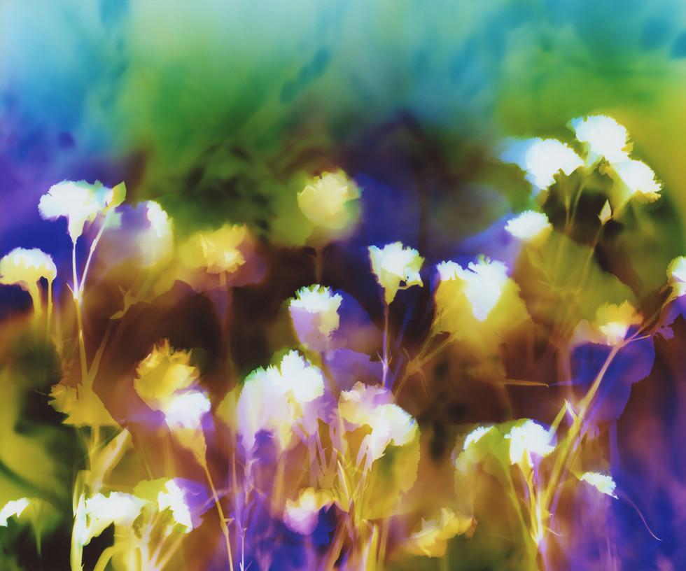 "Carnations in Sunlight, 20"" x 24"" - Collection of Univeristy of California Davis Medical Center, Sacramento, CA"