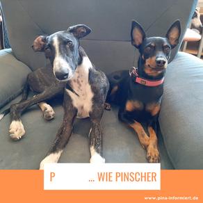 P ... wie Pinscher