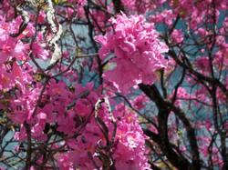 Flor lapacho rosado PP_587_440_90