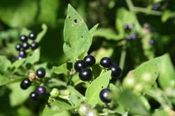 Foto frutitos negros vivero_587_391_90