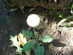 Flor de pompon..._587_440_90