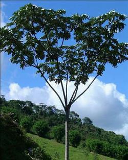 arboles nativos-ambay