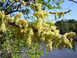 arboles nativos-balcoca flores
