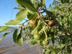 Flor-fruto del rio_587_440_90