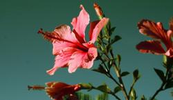 Flor de beso roja vivero_587_342_90