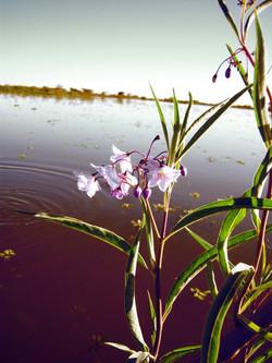 Foto flor de isla rosada_587_782_90
