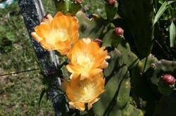 Foto flor cactus naranja vivero_587_391_90