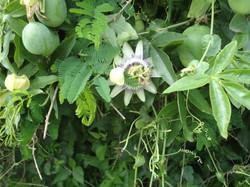foto flora pasionaria y frutos isla_587_440_90