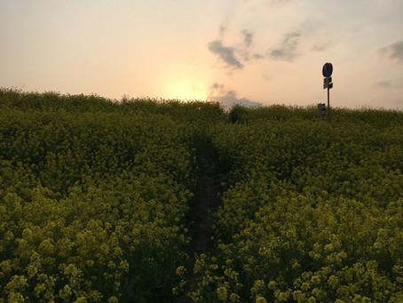 菜の花をかきわけて行くと、夕焼けに染まる雄大な江戸川だった