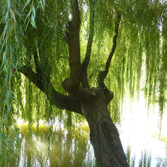 willow-1080x675.jpg