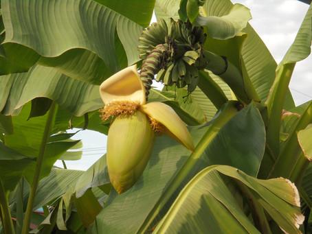 芭蕉の木(ジャパニーズ・バナナ)