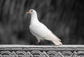 white-dove-pigeonbw.jpg