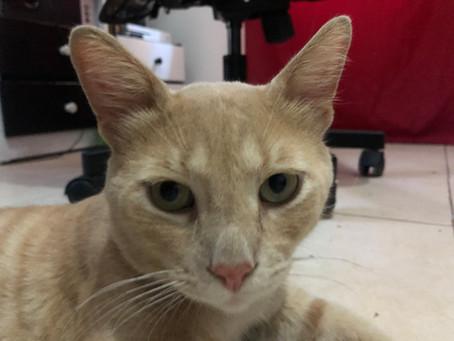איידס חתולים