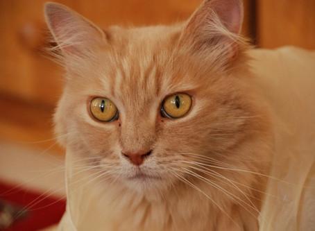 חסימת שתן בחתולים: המקרה של חתולי