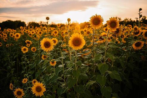Homepage_Sunflowers_01.jpg