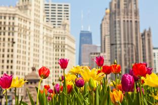 Chicago - Tulips.jpg