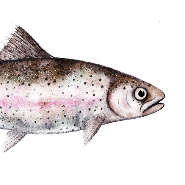 A Trout Fish