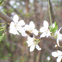 Bestäubung der Bienen