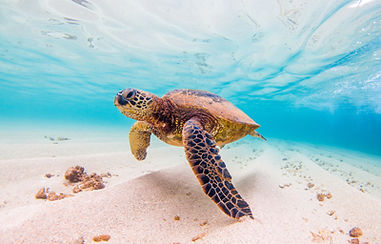 sea_turtle_pacific_basin.jpg