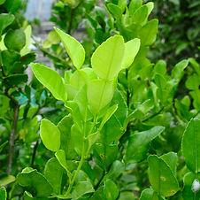 young kaffir lime leaf