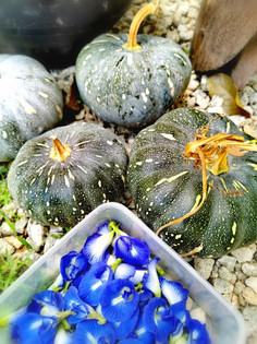 Bluepea Flower and Pumpkin