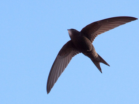 Welcoming the Swifts