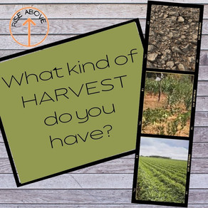 WHAT KIND OF HARVEST DO YOU HAVE?