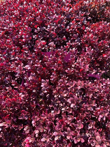 Alternanthera little ruby new season stock