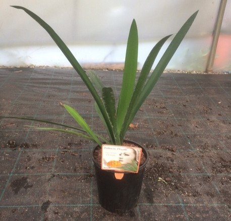 This week we're showcasing our stunning Clivia Miniata and Ficus Bambino...