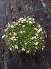 Is it Lobelia, is it Star Jasmine, is it a creeper, is it ground cover...