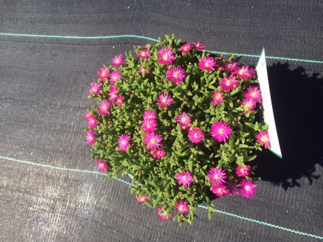 Mesembryanthemum Magenta 200mm in flower