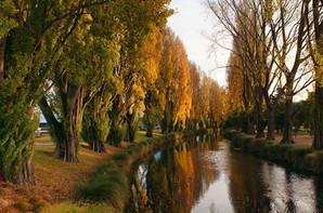 Poplar trees.jpg